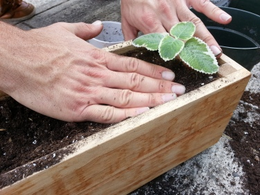 Planting the multicultural Mexican Mint/Spanish Thyme/Cuban Oregano