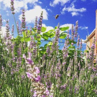 Lavender, with Sunflower stalks behind