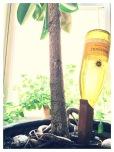 Ficus elastica, Plectranthus tomentosa