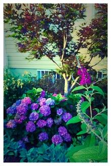 Butterfly Bush, Hydrangea, Red Maple