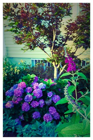 Butterfly Bush, Hydrangea, Red Maple
