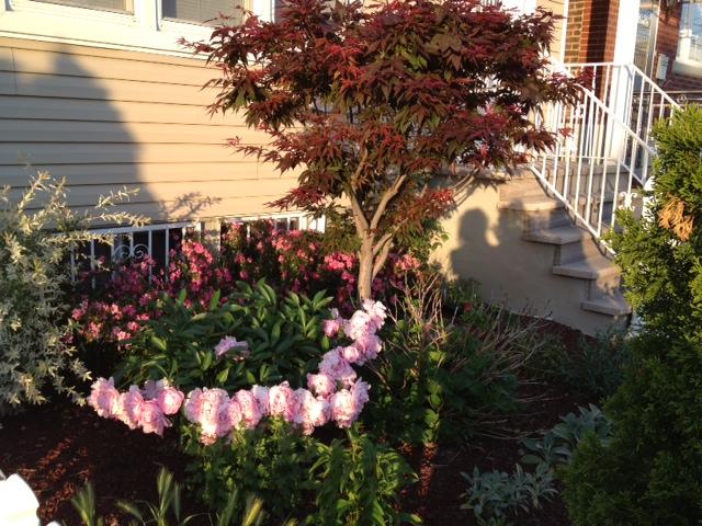 Pink Peonies and fuchsia Azaleas under Red Maple