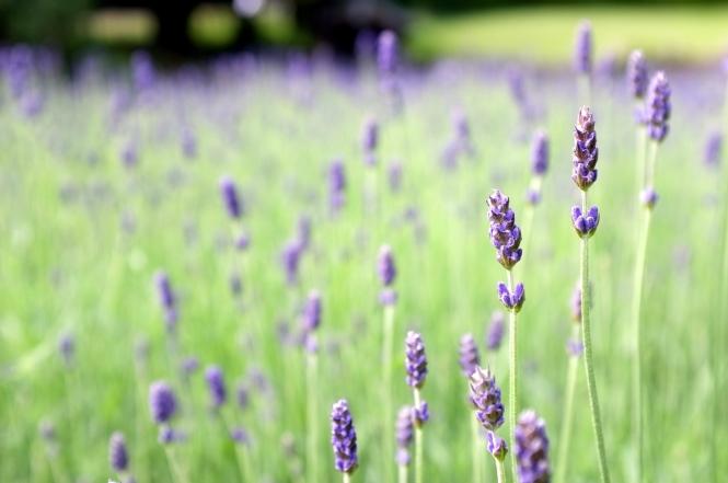lavender_field_28743382114029
