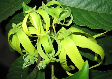 ylang_ylang_flowers_-cananga_odorata