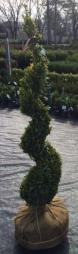 Topiary Evergreens