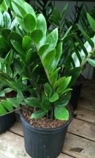Zamioculcas/ZZ plant