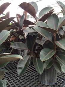 Ficus Elastica/Rubber Plant