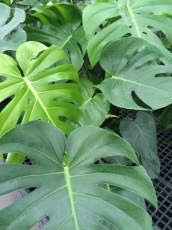 Monstera Deliciosa/Swiss Cheese Plant