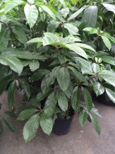 Schefflera, Bush form