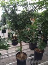 Schefflera, Tree form