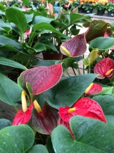 Anthurium (Red)