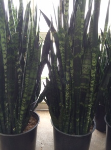Sansevieria/Snake Plant