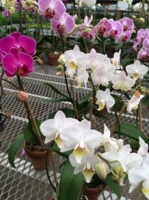 Orchids 'Phalaenopsis'